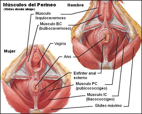 HUESOS Y MUSCULOS DE LA PELVIS, SUS FUNCIONES | Incontinencia de ...